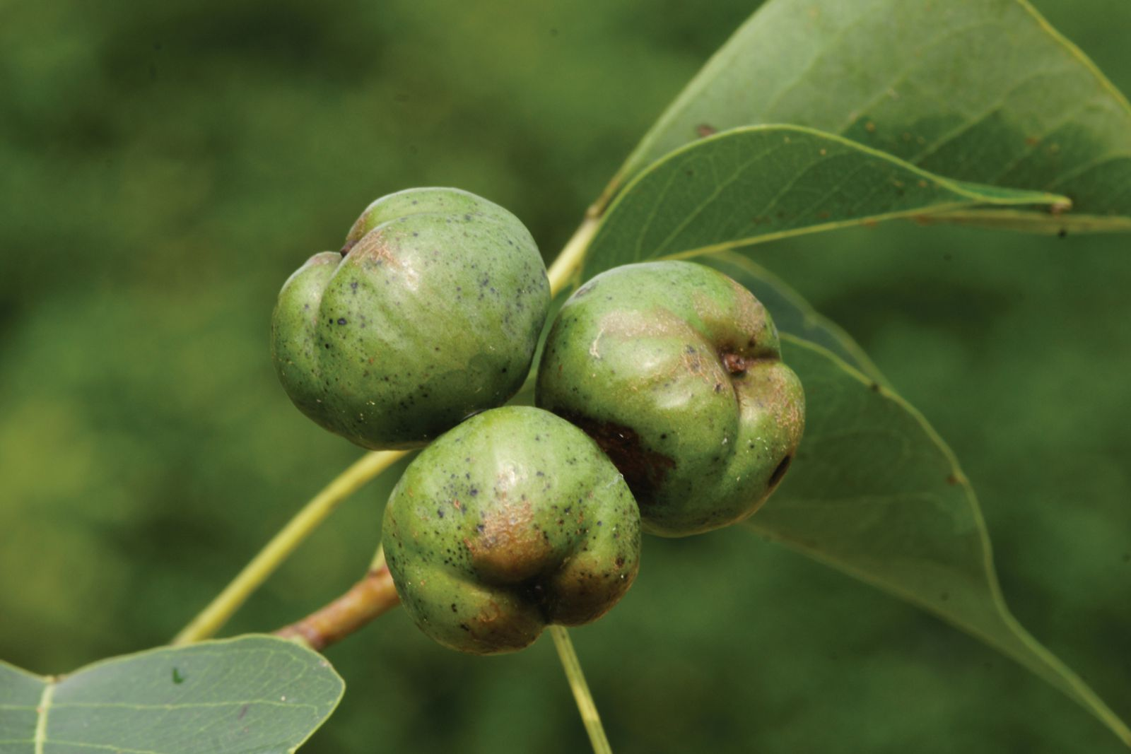 Chinese Tallow Tree